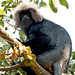 KV4A7713 Nilgiri Langur - Top Slip - Pollachi -Kerala - Indien