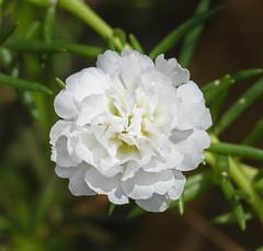 Moss Rose/Rock Rose 'Portulaca grandiflora'