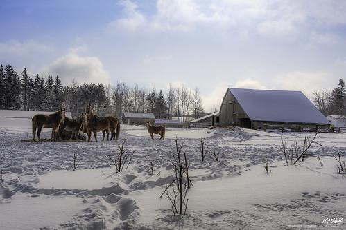 winter horses snow clouds novascotia tracks mira
