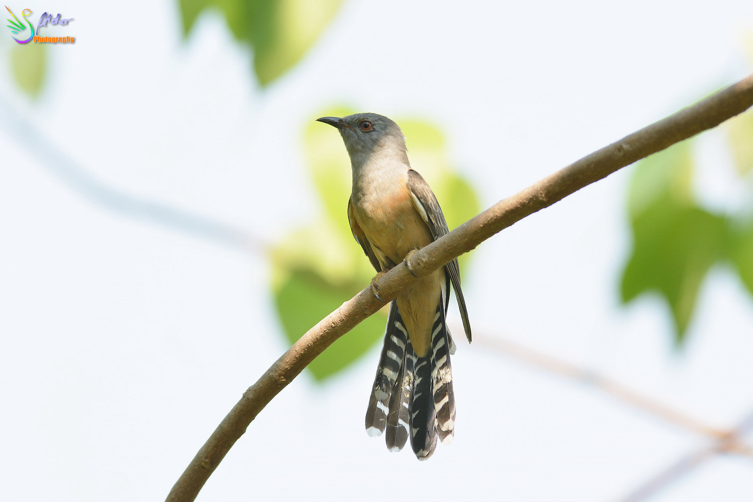 Plaintive_Cuckoo_9364_IJFR