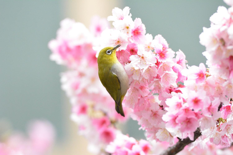 Sakura_White-eye_8140