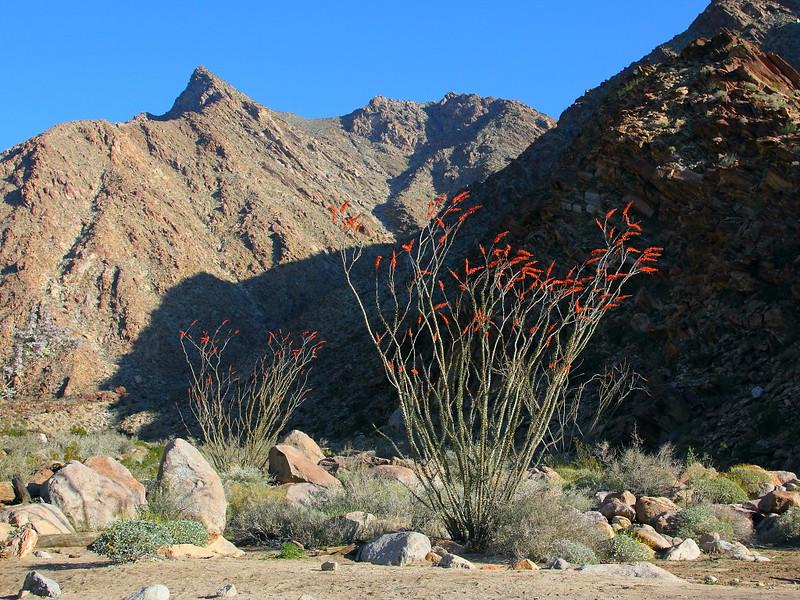 IMG_3618 Ocotillo, Anza-Borrego Desert State Park