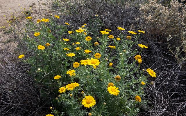 Crown daisy (Chrysanthemum coronarium)