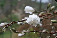 magnolia IMG_5323