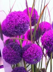 Allium Giganteum / Purple Flower / Riesen Lauch