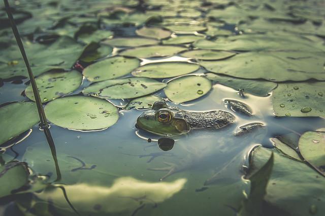 Frog - Algonquin Park, ON, Canada