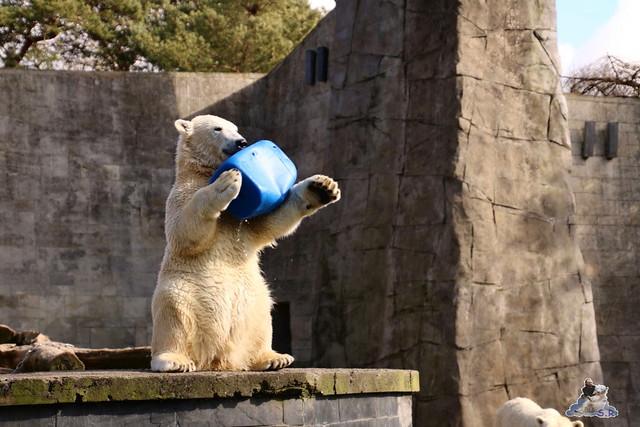 Eisbär Fiete im Zoo Rostock 20.03.2016  0152