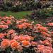 Rainy Roses ! by spicysquid1