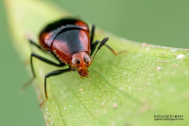 Shining fungus beetle (Scaphidiinae) - DSC_8859