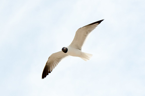 Florida Trip - Black Headed Gull - March 2016 | by pmarkham