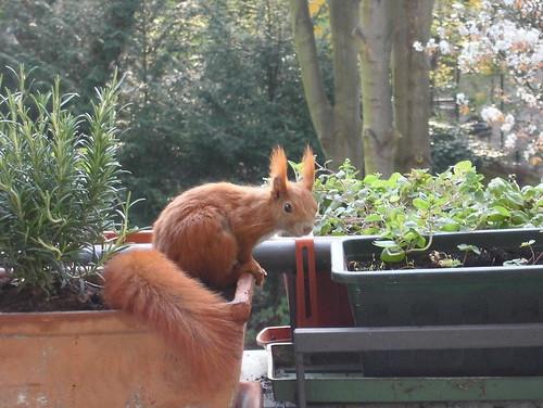 Eichhörnchen9