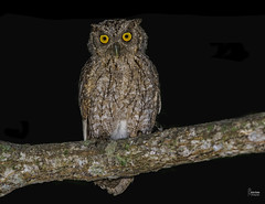 Pacific -Screech -Owl