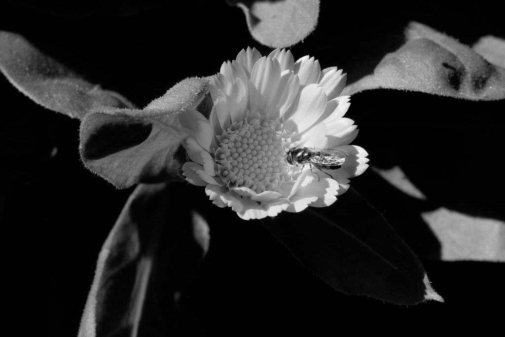 White and Black and Hoverfly-1