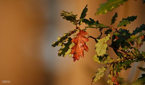 Eichenlaub im Herbst