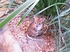 Cute Rock Wallaby 03  @ Hartley's