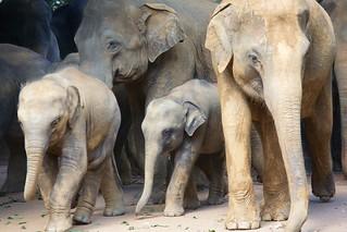 Olifantenopvang in Pinnawalla - Pinnawalla Elephant Sanctuary