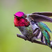 Anna's hummingbird - 2M2K16-54 by Thy Photography
