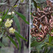 Small photo of Acacia melanoxylon (Blackwood).