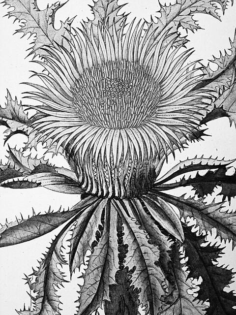 Flore Medicale Decrite: Sunflower