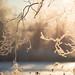 Golden branches by - David Olsson -