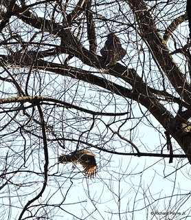Great Horned Owl_N8554