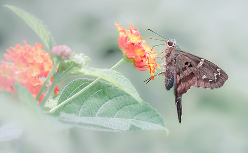 flowers light summer color nature canon butterfly garden georgia insect eos bokeh moth skipper dreamy midway lantana longtailedskipper urbanusproteus butterflydays canon7d
