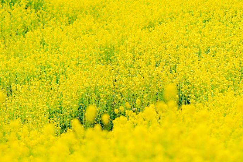 flowering mustard