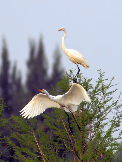 Great Egret duo HDR 04-20160313