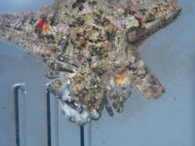 P3202128 螃蟹 花冠海燕