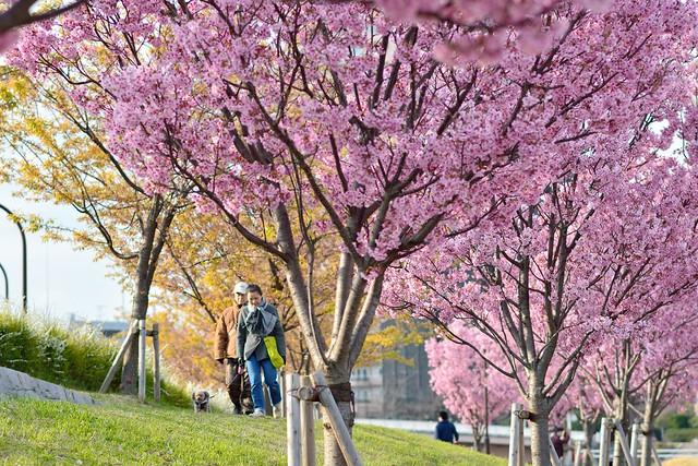 汐入公園の満開の陽光桜
