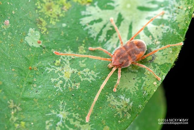 Long-legged velvet mite (Erythraeidae) - DSC_7808