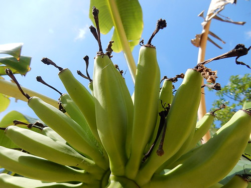 Cancun - bananen