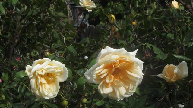 IMG_8203 lady hillingdon roses