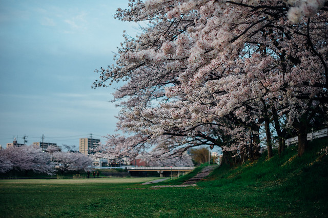 CherryBlossoms_411