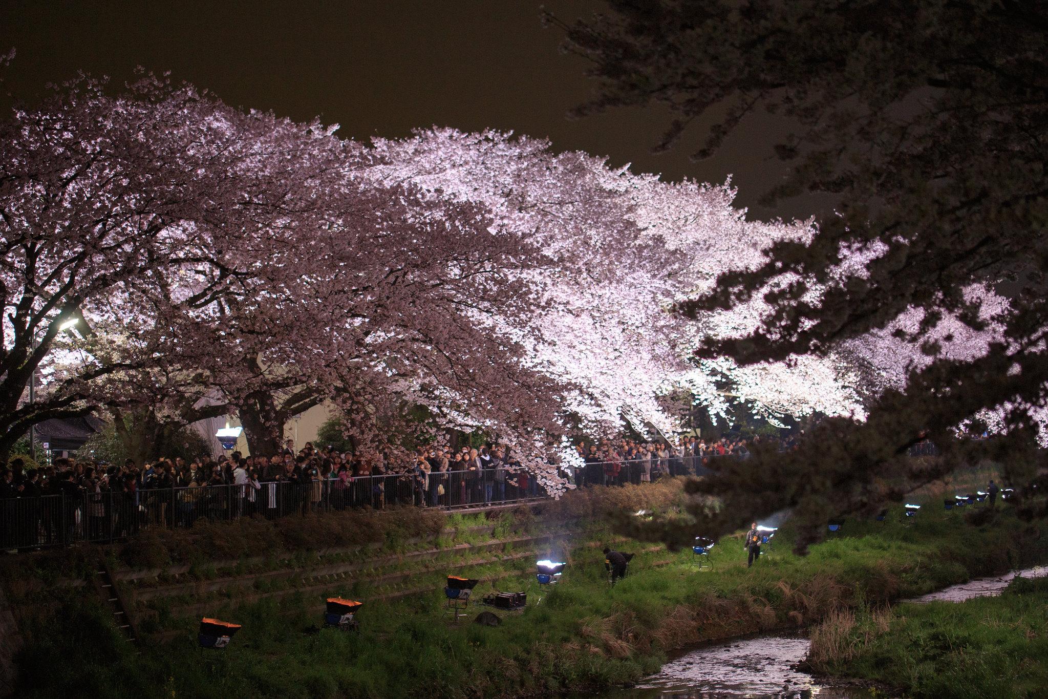 2016-04-05 野川桜ライトアップ 001-15