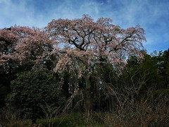 城ノ内古戦場の枝垂桜。満開みたいです。やや薄めのピンク色です。落ちてる花弁も少々見られます。 #snapseed