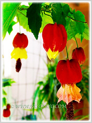 Potted Abutilon megapotamicum at our porch