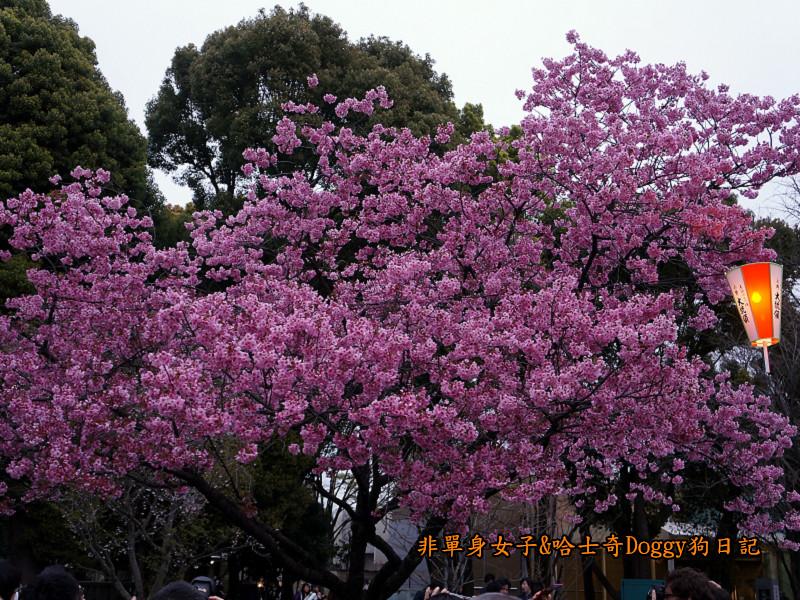 日本東京上野恩賜公園櫻花11