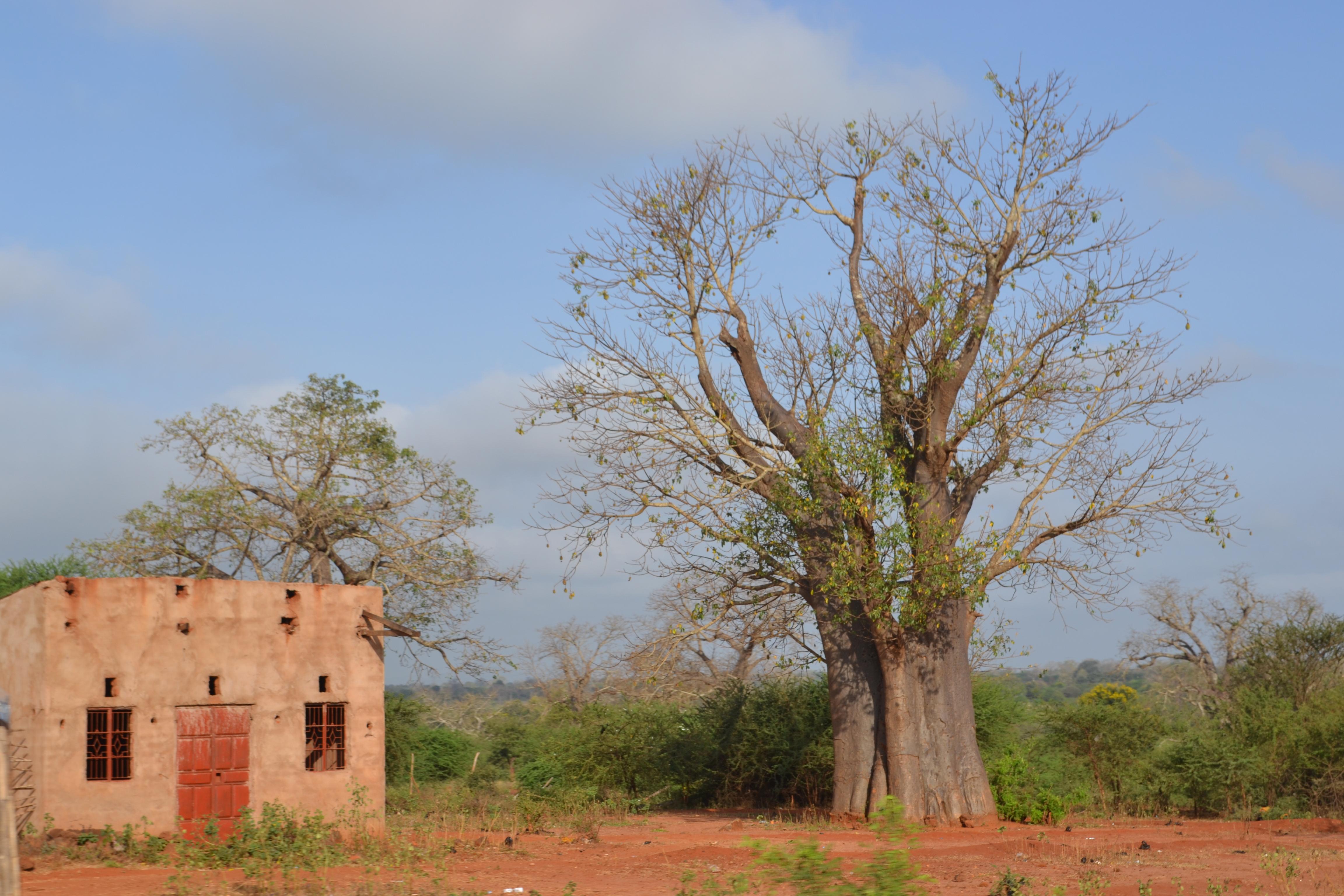 Baobab Tree in Kibwezi Kenya