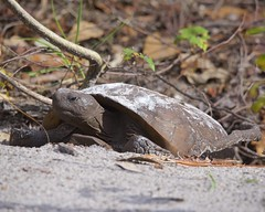 Gopher Tortoise 01