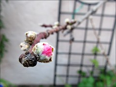 Nectarine blossom-to-be