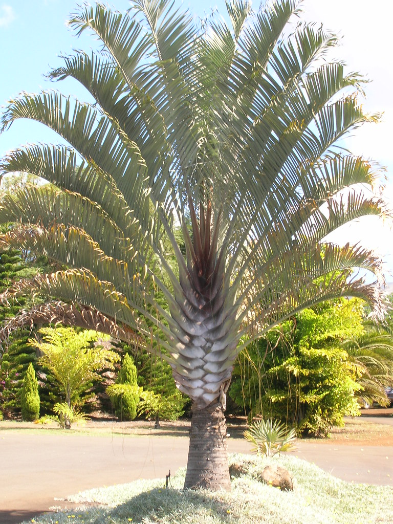 small palm trees guide types that grow 4 20 feet tall install
