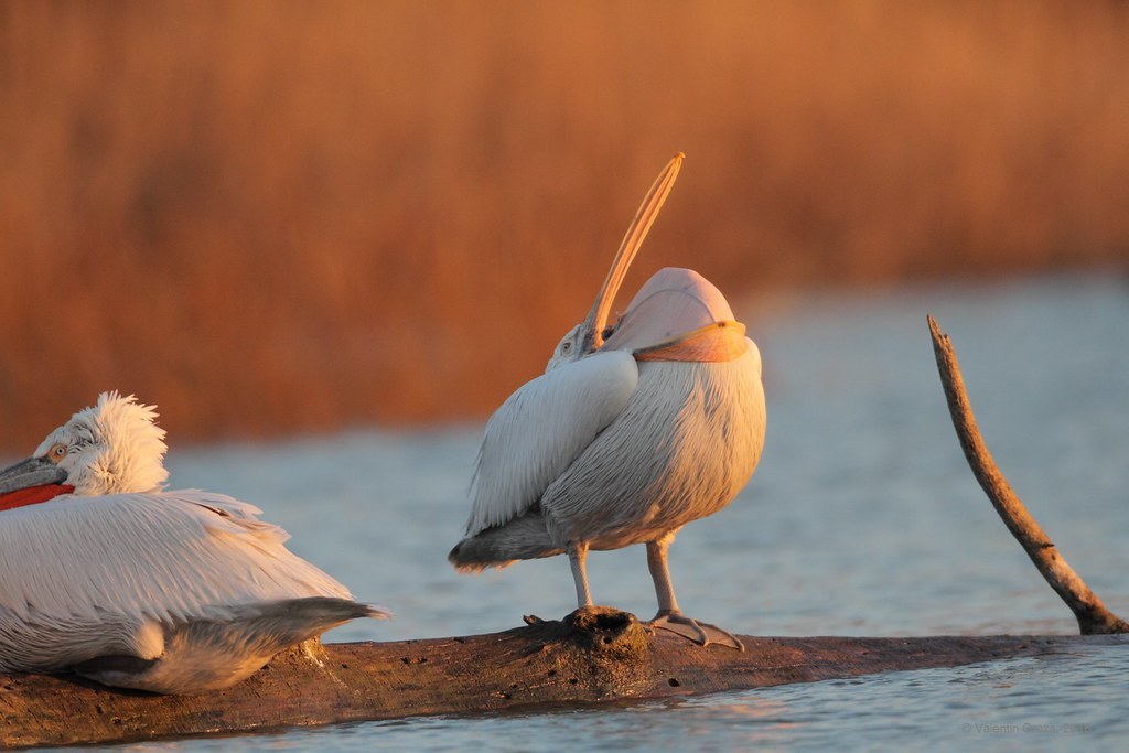 04_pelican curatand pliscul 01