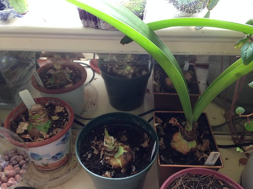 Three Red Lion amaryllis: 2011, 2014, 2008. No scapes yet this year.