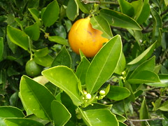 Τα ίδια πορτοκάλια εκτός εποχής μεγαλώνουν τον Μάρτη του 2016