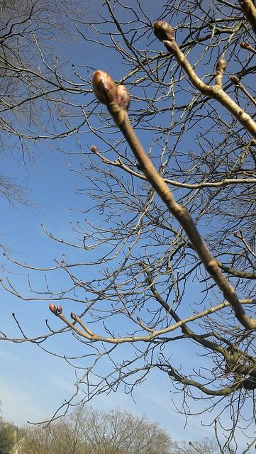 Horse chestnut buds
