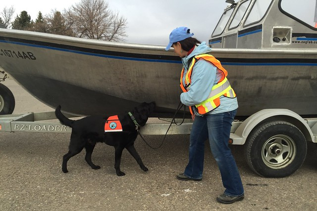 Hilo, a K9 Conservation sniffer dog, helps protect Alberta waters from invasive species