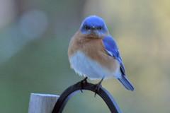 bluebird IMG_5441