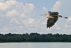 Great Blue Heron - From the Dock at the Boathouse - Hilton Head SC