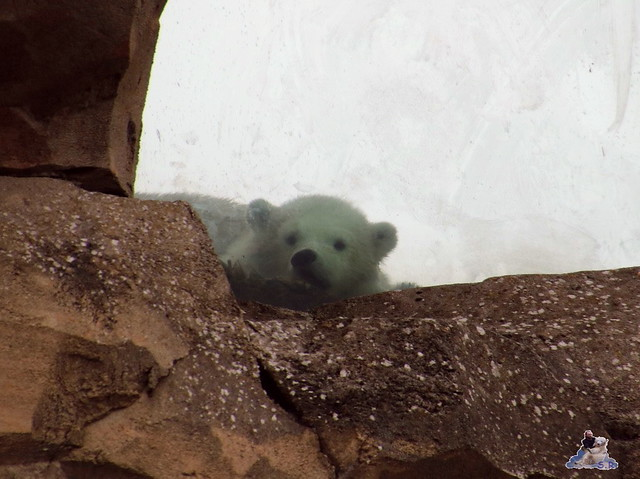 Eisbär Lili im Zoo am Meer Bremerhaven 10.04.2016 Teil 1 117